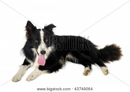 Border Collie On Floor