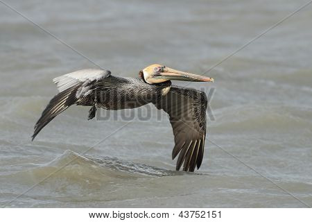 Brown Pelican With A Fishing Line Wrapped Around Its Wing