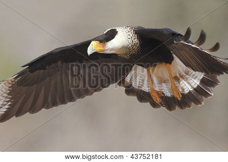 Adult Crested Caracara In Flight - Texas