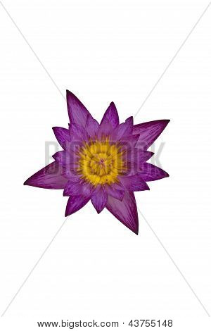 Purple waterlily isolated on white background