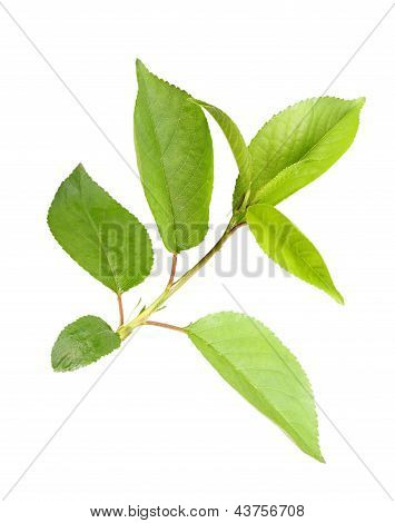 Sprout With Leaf Of Apple-tree
