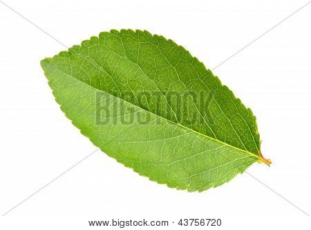 Green Leaf Of Apple-tree