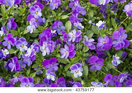 Flower Of Viola
