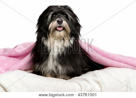 Cute Sitting Black And White Havanese Dog In A Bed