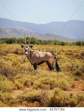 Gemsbok Antelope At South African Bush