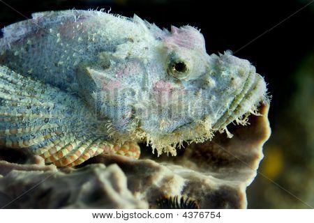 Bearded Scorpionfish Bida Nok