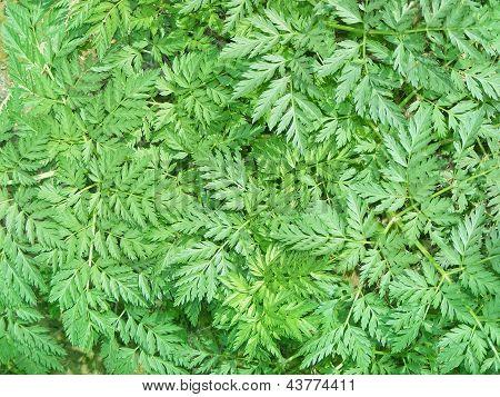 green herbal background