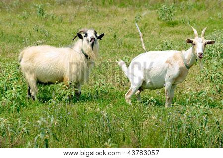 Male and female goat in humorous posture