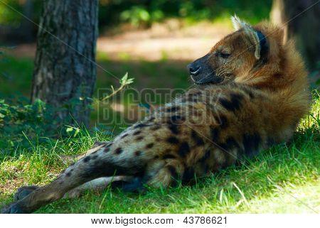 Resting Hyena