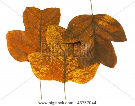 Three Autumn Tuliptree Leaves Next To Each Other