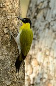 picture of woodpecker  - beautiful male Black - JPG