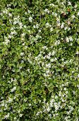 stock photo of climbing roses  - Nature  - JPG