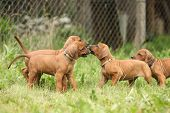 Rhodesian Ridgeback Puppies Playing