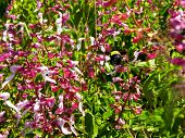 stock photo of purple sage  - A Bumble bee flying through purple Sage flowers - JPG