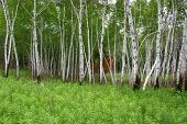 stock photo of ragweed  - A stand of birch trees amid a thick carpet of ragweed like plants - JPG