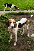 stock photo of foxhound  - Rack of hounds of dogs in the summer morning - JPG
