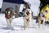 stock photo of sled dog  - A husky sled dog team running fast with tongue outside by winter day - JPG
