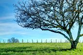 picture of pov  - This lonely tree sits next to a grape vineyard in Oregon - JPG