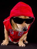 stock photo of gangsta  - the little dog in the black background - JPG