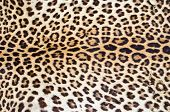 stock photo of leopard  - Closeup real leopard hair for background use - JPG