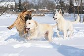 stock photo of swiss shepherd dog  - Three playing dogs  - JPG