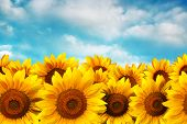 foto of sunflower  - Sunflower field against the blue sky with clouds - JPG