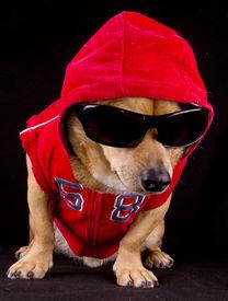 image of gangsta  - the little dog in the black background - JPG