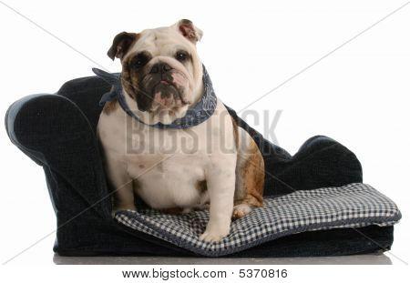Bulldog Sitting On Dog Bed