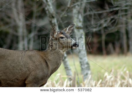 Blacktail Close Up