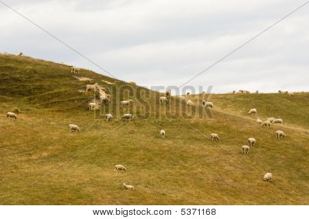 Sheep Herd On A Hill