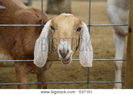 Farm Goat With Head Through Fence
