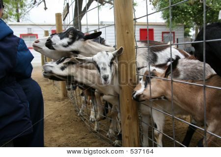 Billy Goats Begging For Food