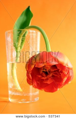 Orange Peony Tulip