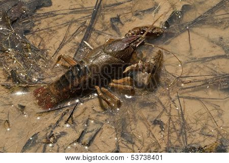Procambarus acutissimus - Crayfish Crustaceans
