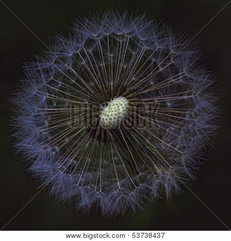 Goatsbeard Wildflower Seedhead with Black Background