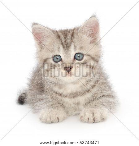 Kitten On A White Background