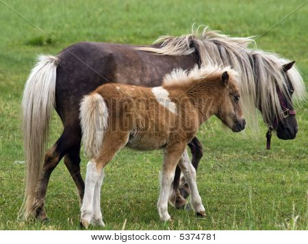 Horse And Her Pony