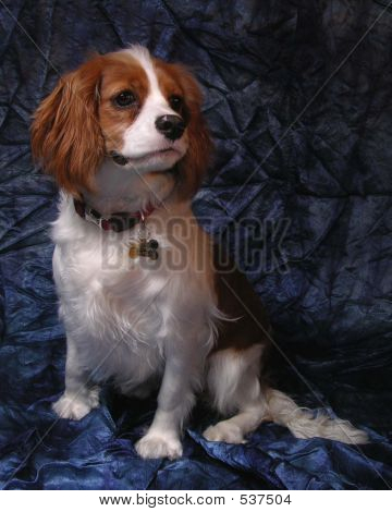 Cavalier King Charles Spaniel On Blue