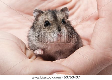 Little dwarf hamster on womans hands