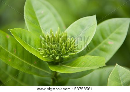 Ixoras Flower