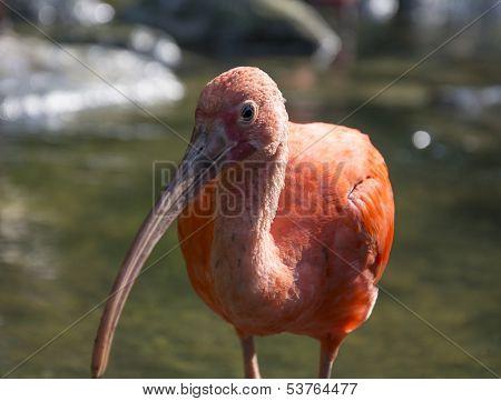 Scarlet Ibis looking at cameraman
