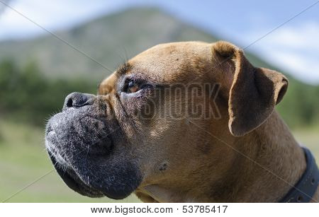 Boxer breed dog muzzle