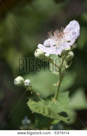 Blackberry Blossom - Rubus Fruticosus