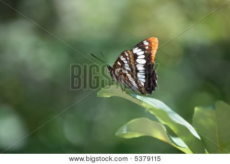 Lorquin's Admiral Butterfly - Limenitis Lorquini