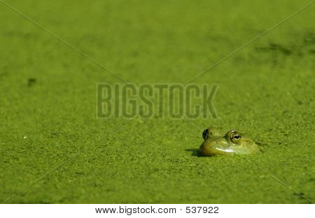 Bullfrog & Algae