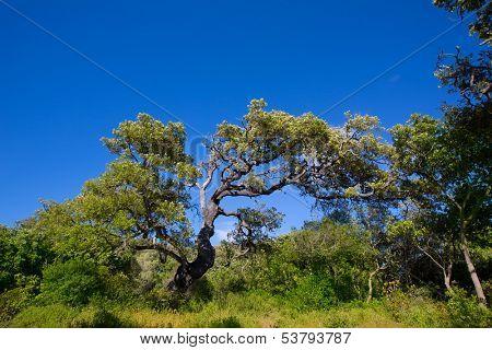 Menorca oak tree forest in northern coast near Cala Pilar at Balearic Islands