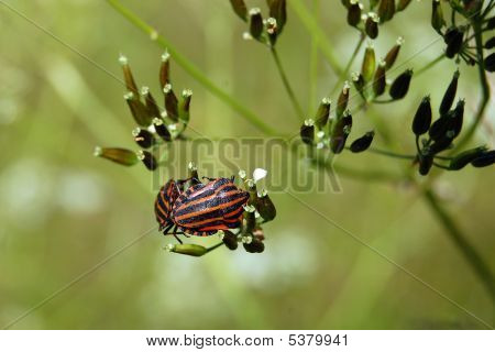 Two Black-orange Bugs On A Green Grass