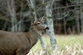picture of blacktail  - blacktail buck w - JPG