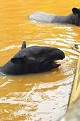 picture of tapir  - Tapir in the lake  - JPG