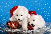 stock photo of long hair dachshund  - christmas puppies white Pomeranian Spitz wearing a santa hat - JPG